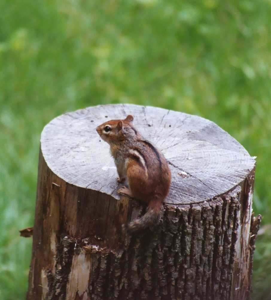 013_10chipmunkstump.jpg